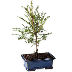 California Redwood Bonsai Tree