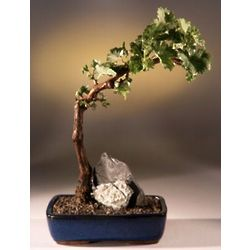 Tempranillo Red Wine Grape Bonsai