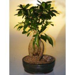 Large Ginseng Ficus Bonsai Tree