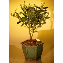 Kumquat Bonsai Tree - Variegated