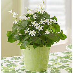 St. Patrick's Day Oxalis Plant