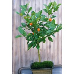 Flowering Tangerine Citrus Bonsai Tree