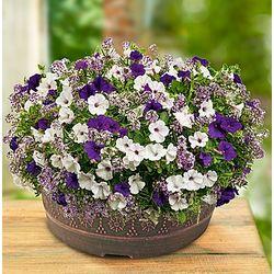 Velvet Skies Flowering Dish Garden