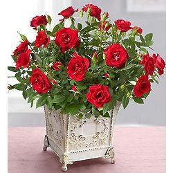 Royal Red Rose Plant for Sympathy