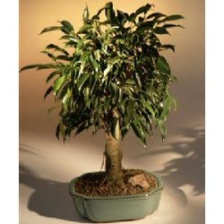 Oriental Ficus Bonsai Tree - Large Size