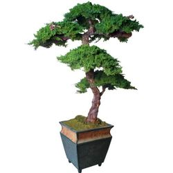 Monterey Preserved Bonsai Tree Kage Style - 6 Feet Tall