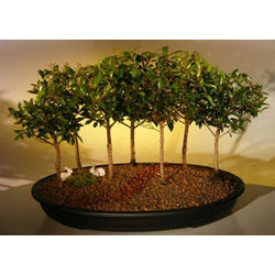 Flowering Brush Cherry Bonsai Trees - Group of Seven