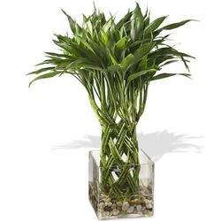 Large Braided Bamboo Plant