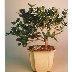 Large Flowering Plum Bonsai Tree