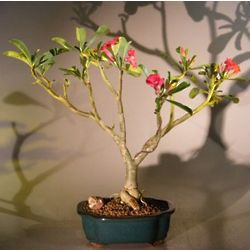 Desert Rose Bonsai Tree