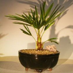 Windmill Palm Bonsai Tree