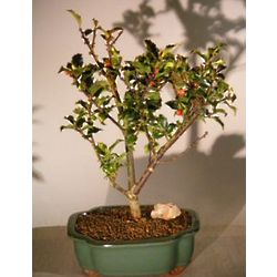 Flowering Holly Bonsai Tree