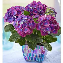 Purple Hydrangea in Mosaic Planter