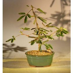 3 Year Old Mimosa Bonsai Tree