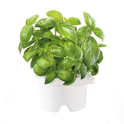 Self Watering Herb Smartpot Basil Refill