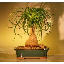 7 Year Old Pony Tail Palm Bonsai Tree