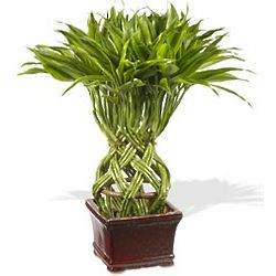 Pear Shaped Braided Bamboo Plant