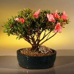 Chinzan Azalea Make Your Own Bonsai Tree Starter Kit