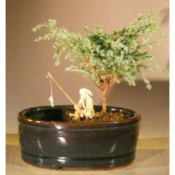 Small Blue Moss Cypress Bonsai Tree in Dual Water/Land Container