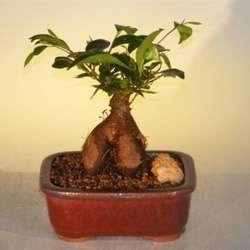 Small Ginseng Ficus Bonsai Tree
