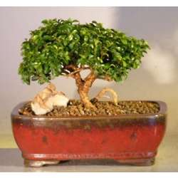 Japanese Kingsville Boxwood Make Your Own Bonsai Tree Starter Kit