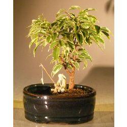 Variegated Ficus Bonsai Tree with Fisherman Figurine