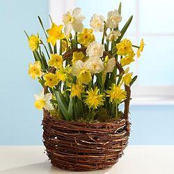 Spring Daffodil Basket Garden