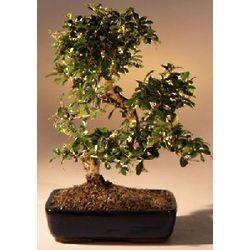 Fukien Tea Flowering Large Curved Trunk Bonsai Tree