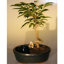 Ficus Bonsai Tree With Coiled Trunk in a Water/Land Container (fi