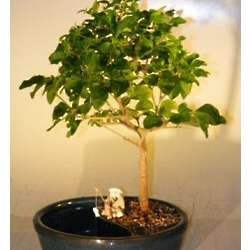 Flowering Ligustrum Bonsai Tree in Water Pot