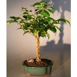 Braided Twist Ficus Bonsai