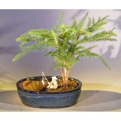 Norfolk Island Pine Bonsai Tree with Fisherman