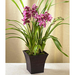 Potted Burgundy Cymbidium Orchid