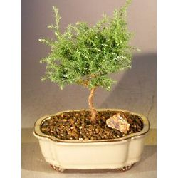 Blue Moss Cypress Bonsai Tree