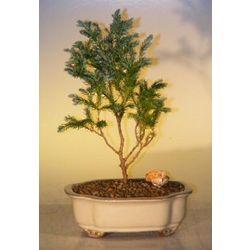 Silver Cypress Bonsai Tree