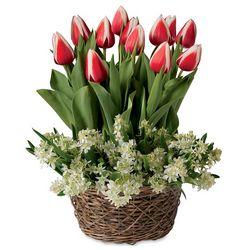 Tulips and Mini Star of Bethlehem Pre-Planted Flower Bulb Garden