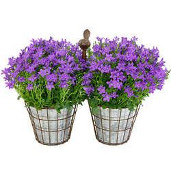 Purple Campanula Plant