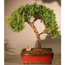 12 Year Old Juniper Procumbens Nana Bonsai Tree