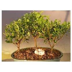 Three Tree Forrest Group Ficus Retusa Plant