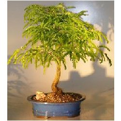 Flowering Tamarind Bonsai Tree