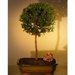 Ball Style Flowering Brush Cherry Bonsai