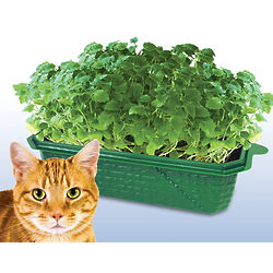 Sprout and Grow Catnip Garden