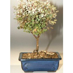 Snowbush Bonsai Tree