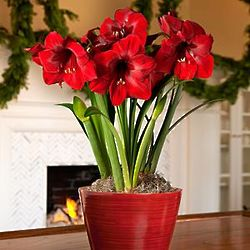 Deluxe Christmas Red Amaryllis Bulb Garden