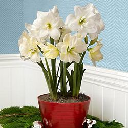 Deluxe Let It Snow Amaryllis Bulb Garden