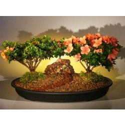 Flowering Azalea Double Bonsai Tree