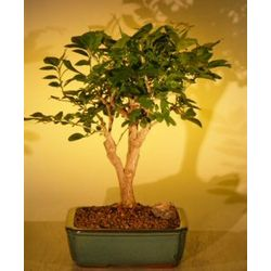 Large Flowering Orange Jasmine Bonsai Tree