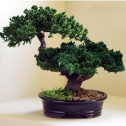 Monterey Double Trunk Preserved Bonsai Tree