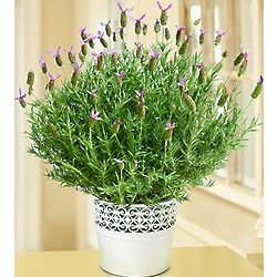 Lavender Blossoms in White Tin