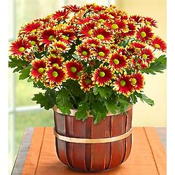 Autumn Harvest Mum Plant
